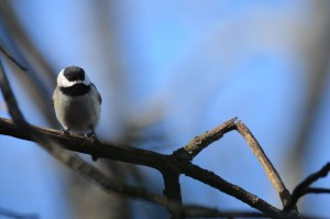 Backyard Chickadee